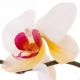 Orchids in Perfumery: Olympic Orchids Artisan Perfume House