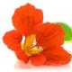 Nasturtium - Gardener's Dream