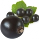 Black Currant in Nature and Perfumes