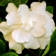 Perfumed Horoscope November 12 - 18