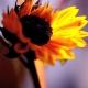 Embraced by Sunshine - Sunflower