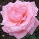Wardh Taifi, the Fragrant Rose of Arabia