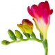 Freesia: Out for The Flower