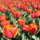 The Tulip Garden of Srinagar, Kashmir: A Picture Story