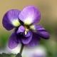 Violetta di Parma: Jewels' Joy Brings Back a Classic