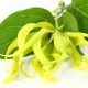 Ylang-Ylang in Your Garden and Home