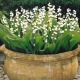 May Greetings: New Lily Of The Valley Aromachemicals