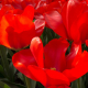 Perfumed Horoscope March 20 - March 26