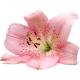 Moć ljepote: ljiljan u mirisima
