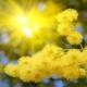 Žuta Mimoza (Acacia)