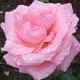 Wardh Taifi, mirisna ruža Arabije