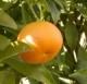 Poboljšana mandarina - Klementina