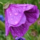 Ljubičica: cvijet, list i korijen