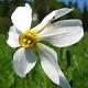 Legendarni cvijet Narcis