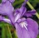 Aristokratski iris Acqua di Parma Iris Nobile