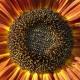 U zagrljaju sunčevih zraka - Suncokret