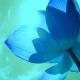 Mistični vodeni cvijet - lopoč