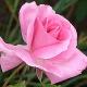 Njeno veličanstvo Ruža u parfemima