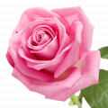 گل رز - عطر ادکلن آرماف کلاب