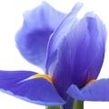 زهور السوسن