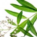Lemon Verbena Aloysia citrodora