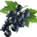 Black Currant Ribes nigrum