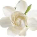 Californian Gardenia