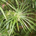 Cypriol Oil or Nagarmotha