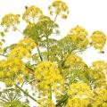 نبات الكلخ