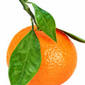 Mandarin Orange Citrus reticulata
