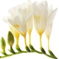 گل فریزیا - ادکلن دیور جادور