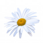 What Kind Of Chamomile Is Used In Perfumery?