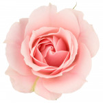 Superpowered Scent: Rose Oil in Bed May Just Make You Smarter