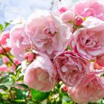 Alien Roses