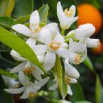 Neroli vs Orange Blossom in Perfumery