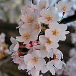 Rose Griotte Les Parfums de Rosine: The Japanese Hana-mi Tradition