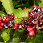 Guarana: The Eyes of the Forest