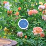 Fragrantica Talks: Roses in Perfumes!
