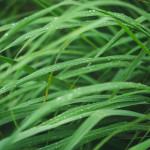 A Beloved Scented Grass From Brazil – Discover Citronella Grass