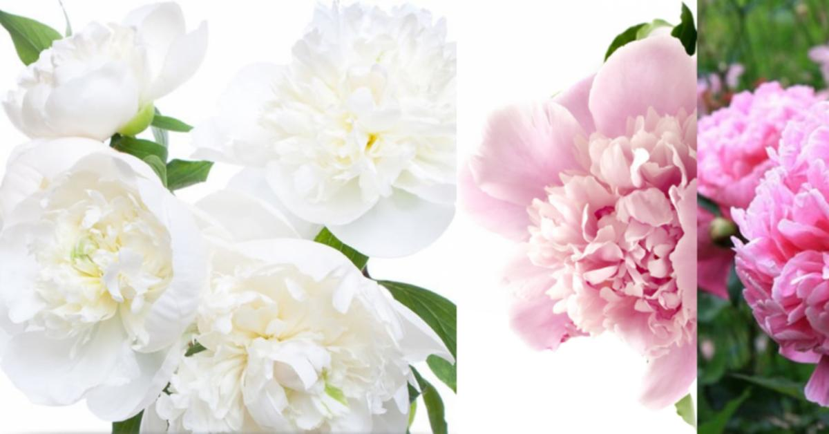 Peony - Good Fortune, Compassion, Nobility ~ Fragrances and