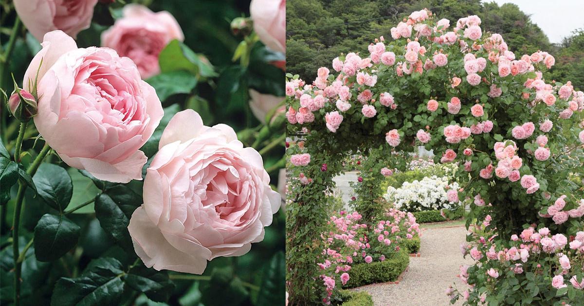 Английские розы, интервью со знаменитым селекционером роз ...